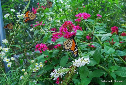 Monarch Butterflies hang out at the scree house at Monarch Watch at the University of Kansas in September 2007.