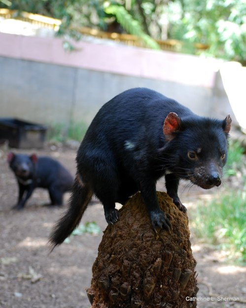 Tasmanian Devils are good climbers when they're young.