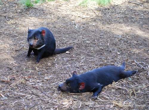 In the wild, Tasmanian Devils are nocturnal, but they don't mind a little rest and relaxation in the sun.
