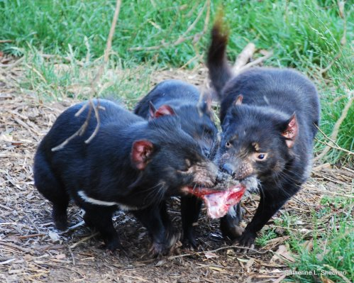 Sharing isn't on the menu when three Tasmnaina Devils grab onto the same piece of meat.