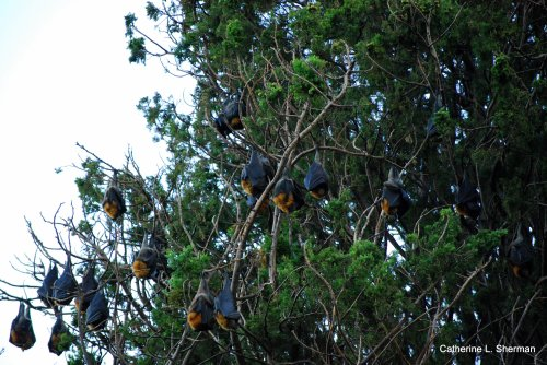 Grey-headed flying foxes, a fruit bat, hang from the trees in the Royal Botanic Gardens in Sydney, Australia.