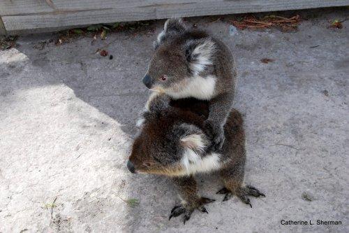 Mother and child koalas at Natureworld in Tasmania, Australia.