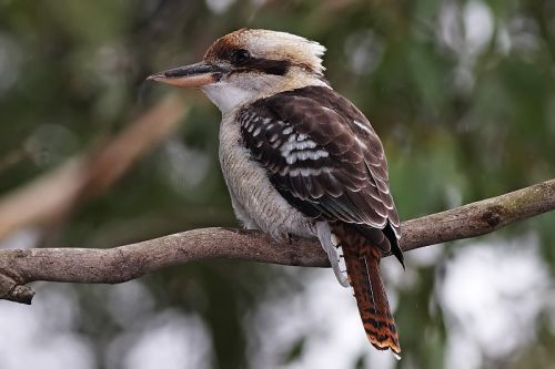 Laughing Kookaburra.