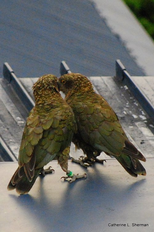 Two Keas parrots conspire on the rooftop of The Hermitage Hotel at Mt. Cook in New Zealand.