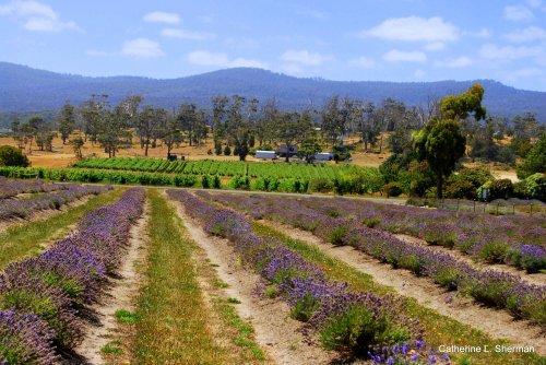 Lavender Field.