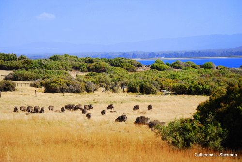 Sheep graze near the ocean in Tasmania.  You can see the mountains in the distance.
