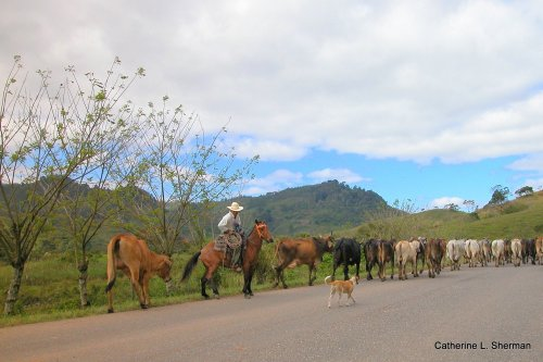 This cowboy leads a herd of cattle along a highway near Lago De Yojoa.  The trees behind him are grown as fences.
