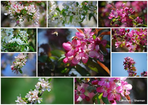 A collage of blooming apple trees (and visiting bees) in my neighborhood.