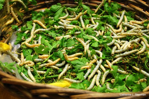 MonarchButterflies weren't the only stars of the open house.  Here are some silkworms.