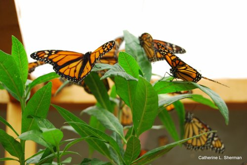 Monarch Butterflies are busy in the mating enclosure.