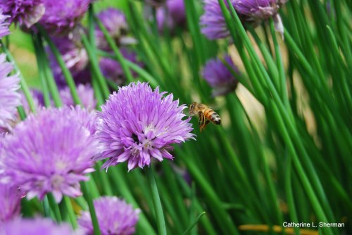 Thie honey bee dropped by the open house to visit some chive blossoms in the pollination garden.