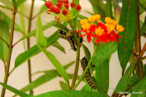 These Monarch caterpillars await adoption.  People who bought milkweed plants could also buy caterpillars to take home to live in on the newly purchased milkweed plants in their gardens.