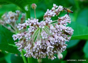 This honey bee was lucky it didn't encounter any crab spiders hiding in the milkweed flowers.
