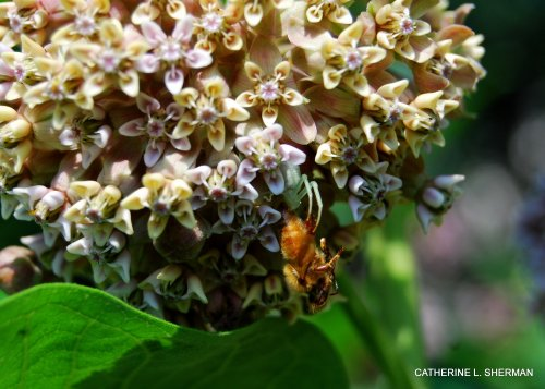 A crab spider grabs a honeybee that has visited a common milkweed flower.