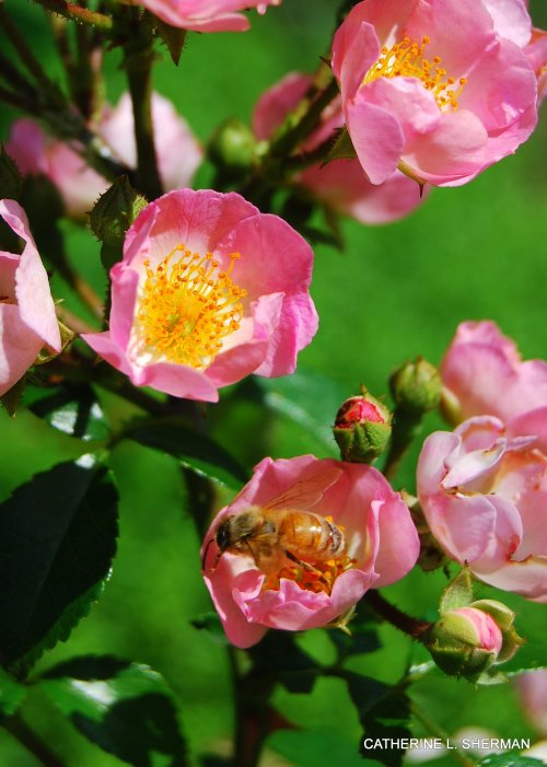 A honey bee visits a rose blossom.  You can see how closely these wild roses resemble apple blossoms, members of the same family.