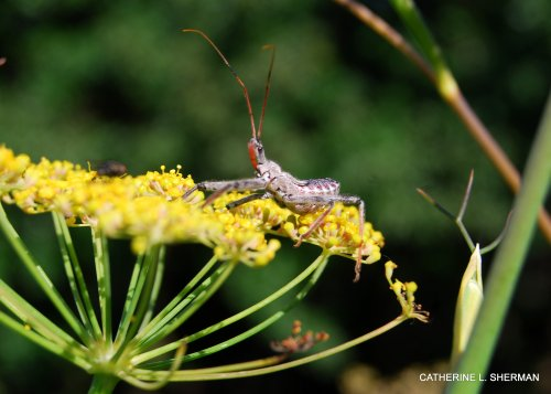 A Wheel Bug hangs out on a bronze fennel, which is the home of one of his favorite meals, the soft bodies of Black Swallowtail Caterpillars.