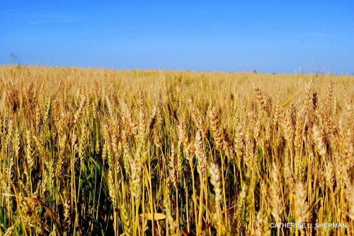 This wheat field  is in the city limits of Overland Park, Kansas, the largest city in Kansas, and part of the metropolitan Kansas City area.  It's surrounded by commercial development and is for sale, so eventually, you'll see cars here instead of crops. Too bad. I like seeing farm fields.  Last year, it was planted in soybeans.