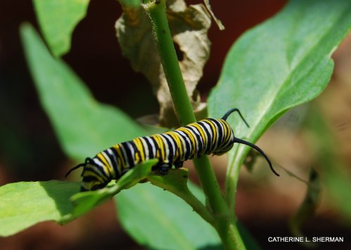 I didn't discover this Monarch caterpillar until it was almost ready to pupate.  It ate the leaves of this milkweed so quickly and voraciously that it left only a stem.  I thought: Hey, leave some for the other guys!  I didn't think the milkweed, which I had recently planted, would survive, but it slowly recovered and grew new shoots, ready for the next batch of hatchlings.