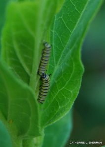 A Monarch butterfly flitted in and briefly landed on several milkweed plants.  Later, I discovered many eggs, each one laid on the underside of a leaf of different plants.  I watched the progress as the eggs hatched.  Here are two very small caterpillars from July 15, 2009.  Today (July 16) when I checked I couldn't find any caterpillars, so I don't know whether they were hiding or had fallen prey to other creatures.  It's a dangerous world out there!