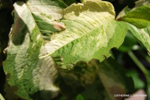 These lacey edges show that leaf cutter bees have harvested part of the leaves to line their nests.