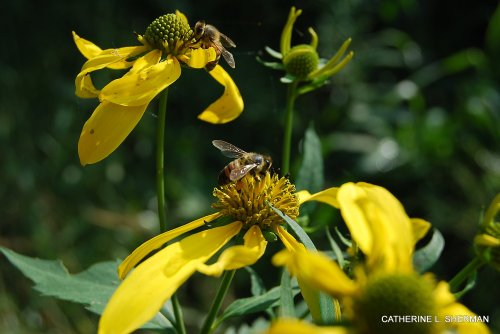 These honey bees are finding nectar on wildflowers in a park.  Bess find fewer places to find food as more areas are developed and mowed.  These wildflowers were mowed a few days later, leaving no flowers for the bees.