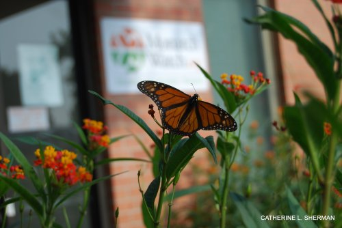 A male Monarch butterfly shows of its beautiful wings while perched on a scarlet milkweed in front of the Monarch Watch headquarters in Foley Hall at the University of Kansas.