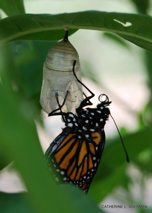 A newly emerged Monarch butterfly hardens its wings before taking its first flight.  The process takes a few hours.