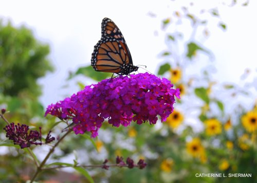 Monarch butterflies are fascinating creatures scientifically, but it doesn't hurt that they are also gorgeous and like to visit beautiful flowers on a lovely late summer afternoon.