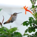 A hummingbird visits a flower near Laura and Ryan's courtyard.