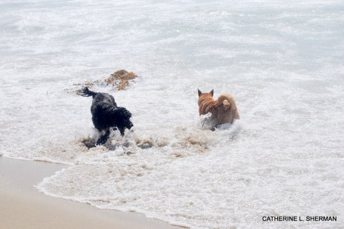 "Dogs enjoying the water on ""dog beach"" in Huntington Beach."