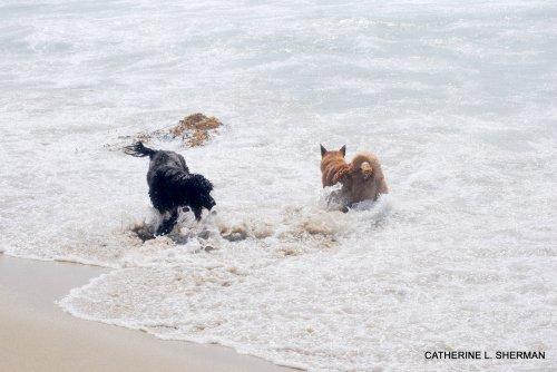 "Dogs enjoying the water on ""dog beach"" in Huntington Beach."