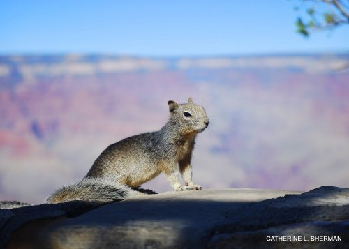Rock squirrel at the Grand Canyon