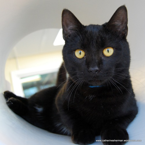 Onyx is a beautiful black cat who was briefly at Wayside Waifs before some lucky person adopted him.  Black cats make wonderful companions and are so chic, too.