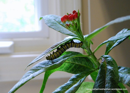 Awaiting its new home in my garden, a Monarch butterfly caterpillar hangs out on a tropical milkweed plant I bought at the Monarch Watch plant sale. When you buy a large tropical milkweed, you got a caterpillar, too. I've always had good luck attracting Monarch butterflies to tropical milkweed plants in my garden, although the plants don't survive the winter.