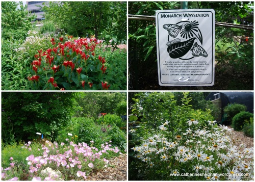 Here are some photos of the Monarch Watch garden on the campus of the University of Kansas. The garden is a way station to provide milkweeds, nectar sources and shelter needed to sustain to Monarch butterflies as the migrate through North America. People are encouraged to create their own Monarch way stations and pollination gardens. Monarch Watch sells plants for butterfly gardens at its annual Spring open house.