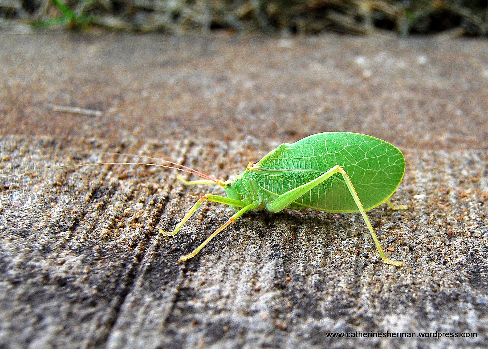 Green Bug With Wings That Look Like Leaves With Their Leaf Shaped