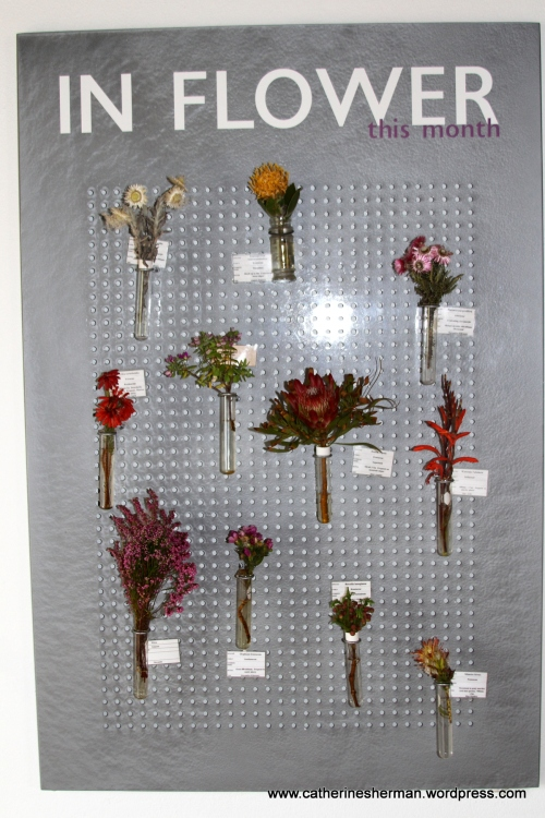 This display in the Buffelsfontein Vistors Centre shows flowers that are in bloom in January 2013 on the Cape Penisula. The Cape Floristic Kingdom is the smallest but richest of the world's six floral kingdoms, which includes 1,100 species of indigenous plants, many of which only occur naturally in the Cape area.