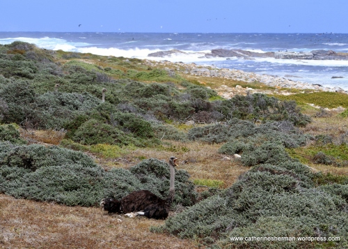How many ostriches do you see sitting in the fynbos (fine bush) of the Cape Peninsula near the Cape of Good Hope in South Africa?  I saw only one when I took the photograph. Although the ostrich is the largest of all birds, it hides very nicely in these bushes.