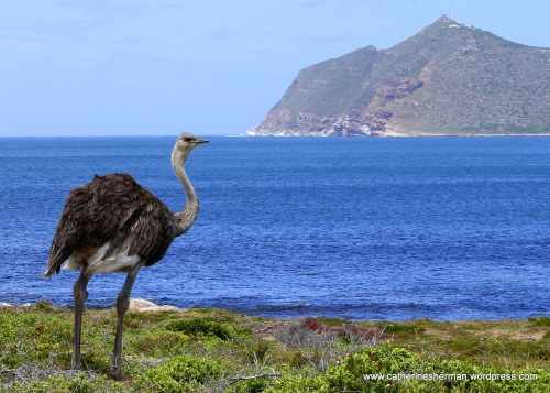 An ostrich struts his stuff near Cape Point in South Africa.