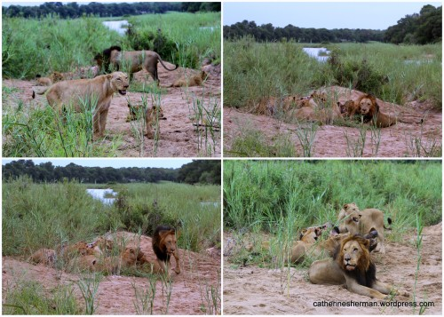 A pride of lions gathers at a carcass of a Cape Buffalo at MalaMala Game Reserve in South Africa. The upper left photo: This was our first view of the pride as we drove in an open Land Rover to the lions at the buffalo kill. We had rocked over a very bumpy river bed through high grass, and then suddenly there were the lions about fifteen feet away. I was thrilled and terrified at the same time.  In the upper right photo, the male adult lion suddenly see us. In the lower left photo, my heart starts beating wildly as the male lion stands up and appears to be coming toward us. In the lower right hand photo, the male lion has plopped down to digest his meal, bored with us -- thankfully!