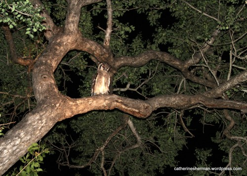 Owls don't eat marula fruits, of course, but the branches make a handy perch. And perhaps some unsuspecting creature looking for fruit may become the owl's dinner.