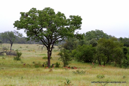 In a game reserve in South Africa, baboons congregate in and under a marula tree to eat the marula fruit.  Impala antelope stand under the tree to eat the dropped fruit.