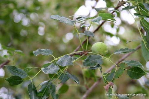 The marula fruit on this tree is not quite ripe.  It'll turn yellow.