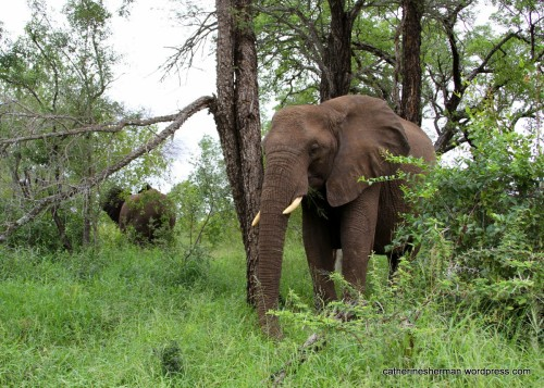 Is this elephant dreaming of the delicious marula fruit as she eats grass at a game reserve in South Africa?