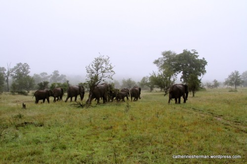 On a misty morning in January 2013, a herd of elephants in MalaMala Game Reserve moves quickly as it heads into Kruger National Park in South Africa. Elephants are highly endangered and are being slaughtered for their tusks.