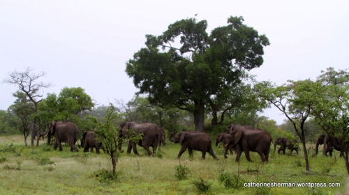 We saw this herd of elephants as it traveled out of MalaMala Game Reserve into neighboring Kruger National Park, South Africa, in January 2013.