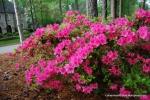 Brilliant Pink Azaleas