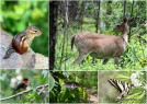 From top left, clockwise are a chipmunk, white-tailed deer, zebra butterfly, Diana Fritillary Butterfly and the ruby-throated hummingbird. I photographed these animals in Mount Magazine State Park in Arkansas in late May 2013. The White-tailed deer, the Arkansas state mammal, is feasting on a white oak leaf. The Diana Fritillary Buttery is Arkansas' state butterfly. This poor butterfly is very tattered, as is the Zebra butterfly, which is the state butterfly of Tennessee. It's a hard, hard life for butterflies.