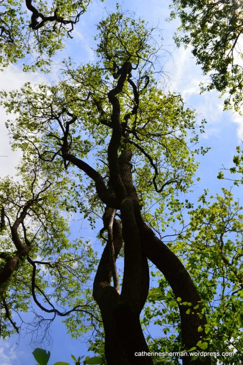 These sassafras trees in Mount Magazine State Park in Arkansas are some of the tallest in the state.