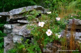Pink roses grow among the rocks along Bear Hollow Trail in Mount Magazine State Park in Arkansas.
